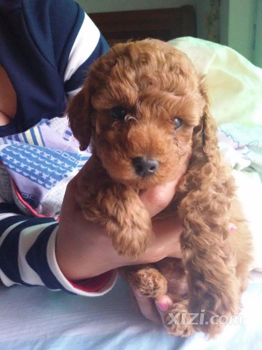 我家的贵宾狗宝宝 可爱吧