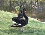 散步时偶遇,这难道是黑天鵝和白天鵝吗?求解!