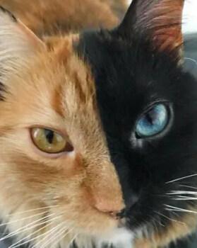 这只猫太神奇了!眼睛跟脸的颜色都不一样