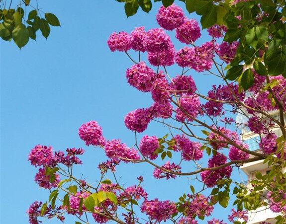 富源路的红花风铃木进入观赏期,未来会更美