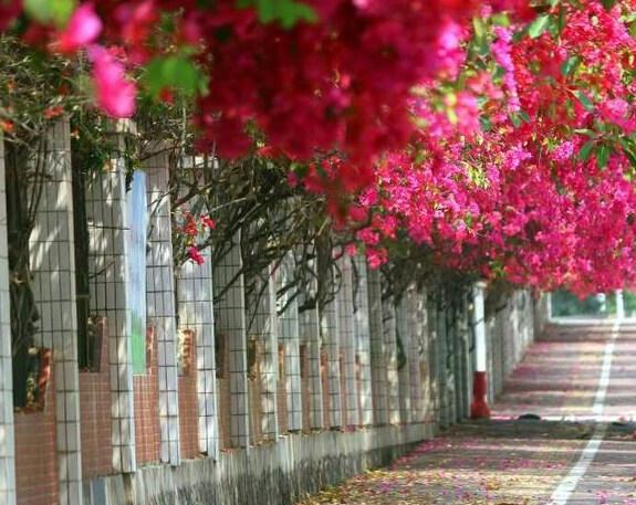 博罗三角梅盛开中,吸引了不少市民前来赏花