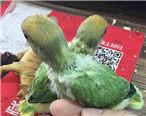 萌系小鹦鹉,好可爱想起小时候养的小鸡崽