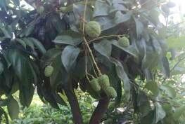 结果啦!家里的芒果荔枝看起来真的好诱人啊
