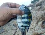 第一次在双月湾钓到鱼,请问这种是什么鱼?