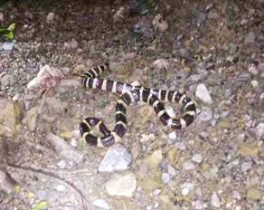 在仲恺公园后山遇到银环蛇,吓出一身冷汗