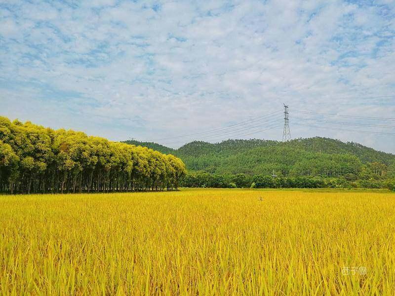又到稻谷收成的季节,到处黄灿灿的一片