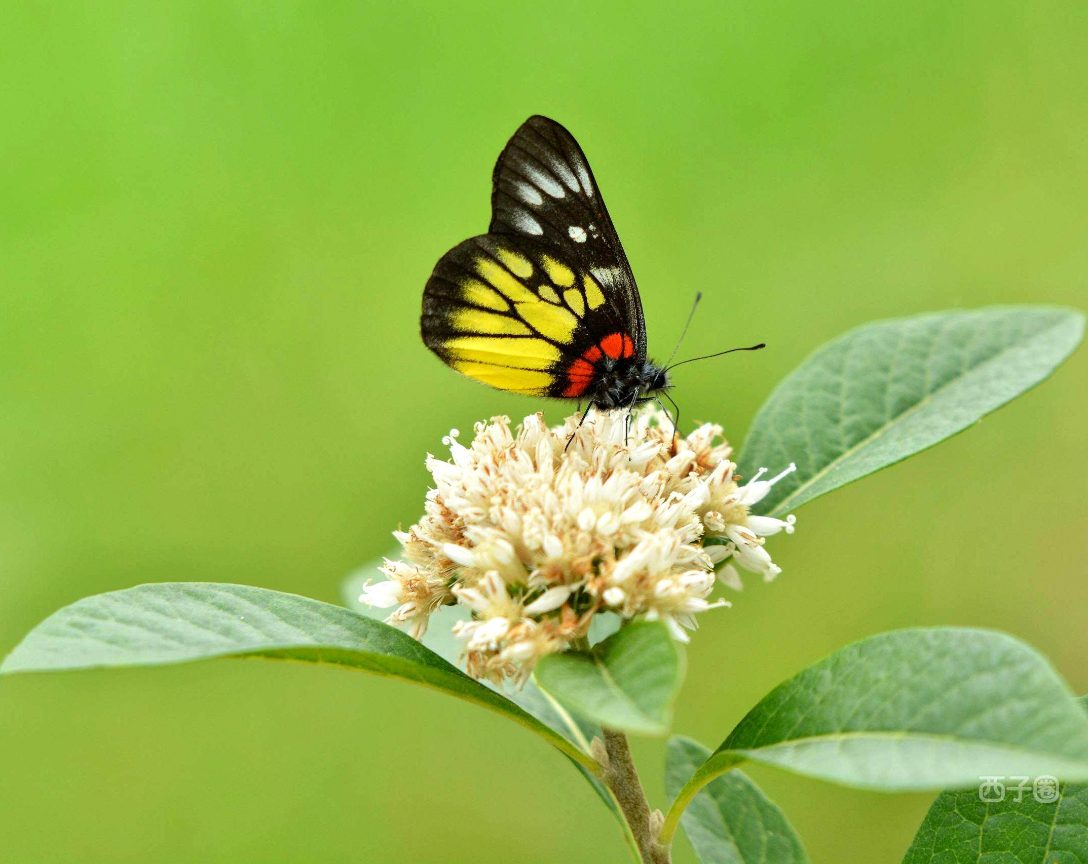 花丛中这种美丽的蝴蝶,你知道叫什么吗?