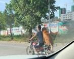 陈江这只金毛坐在摩托车后座,很拉风!