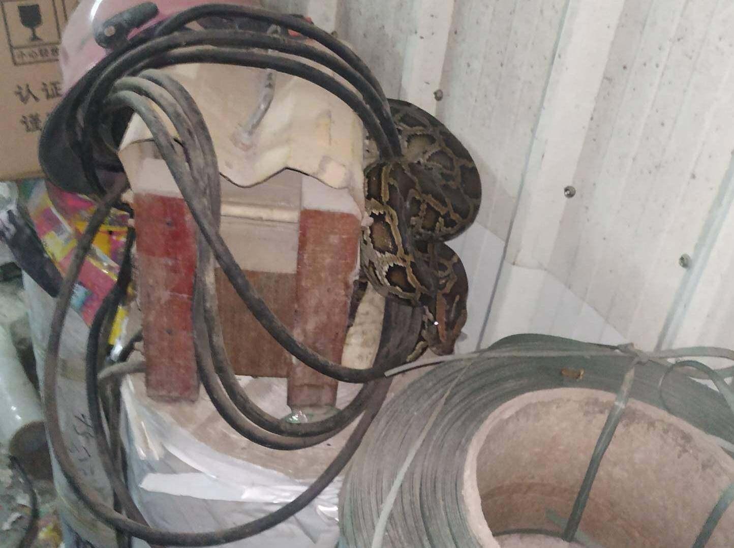 吓人,有人在工厂发现一条比手臂还粗的蛇