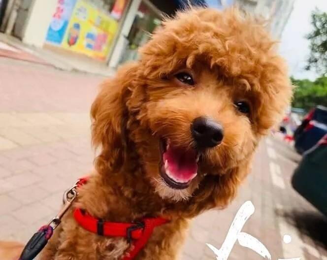 找狗!上周我的泰迪在甲子市场附近丢了