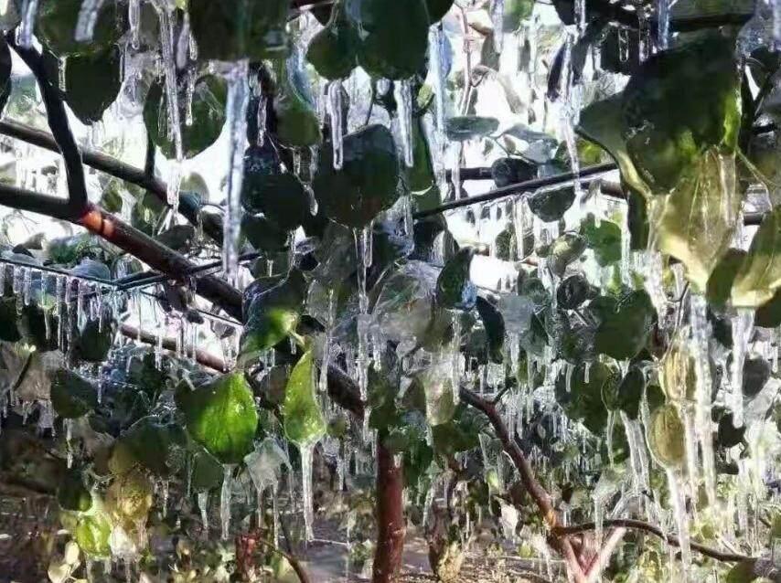 心疼果农!大岭棠阁的青枣园冻到结冰