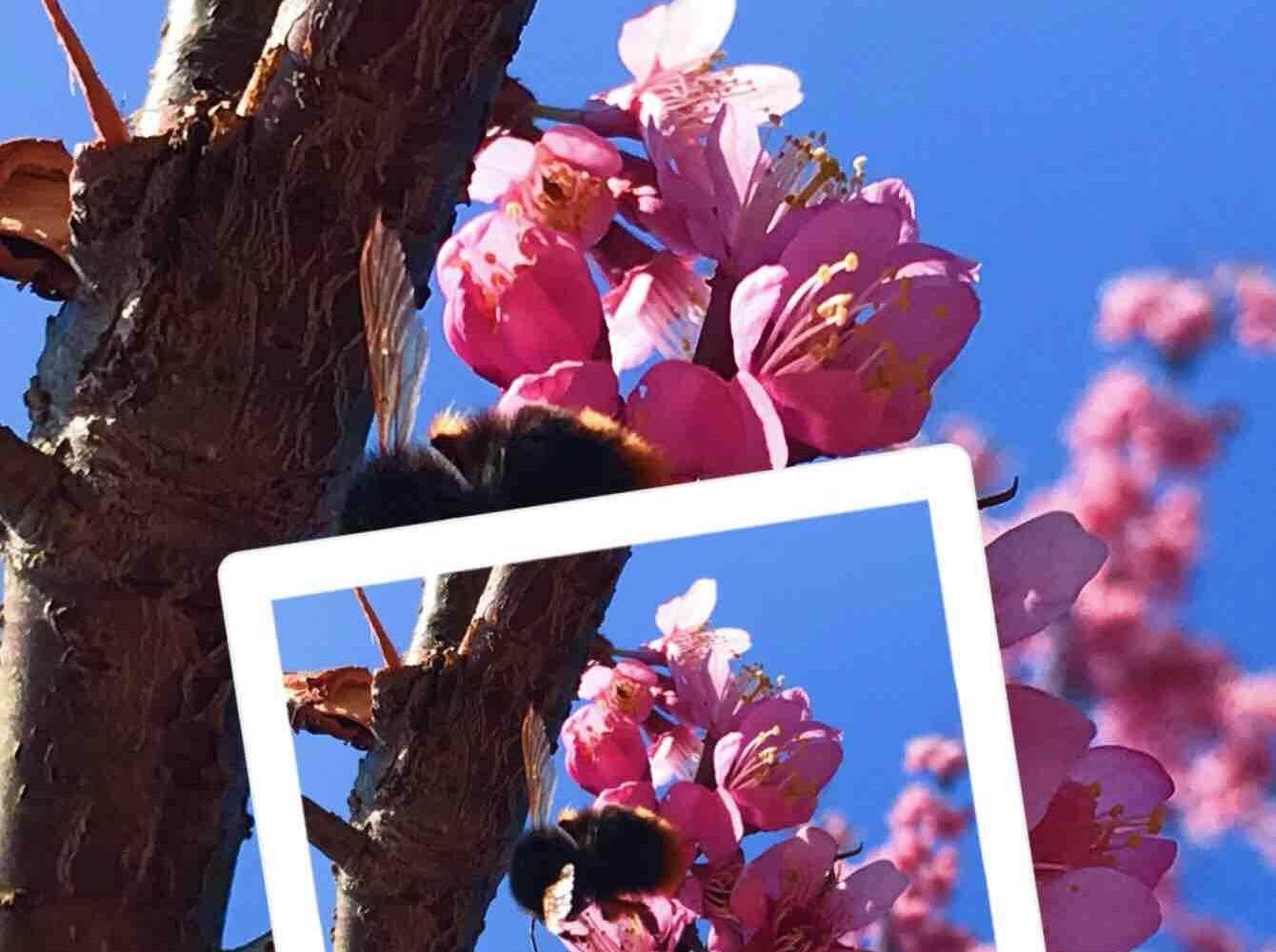 打卡惠东梁化梅园,花开得很盛,真好看
